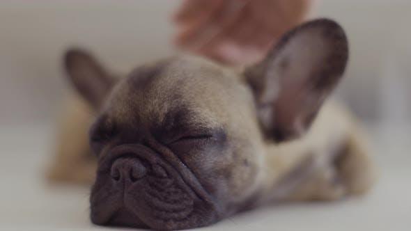 Person Stroking Sleeping Bulldog