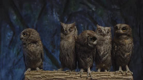 Wildlife, Baby Owls Are Sitting on a Branch and Looking Around,