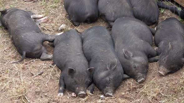 Thumbnail for Sleeping Black Little Fun Piglets