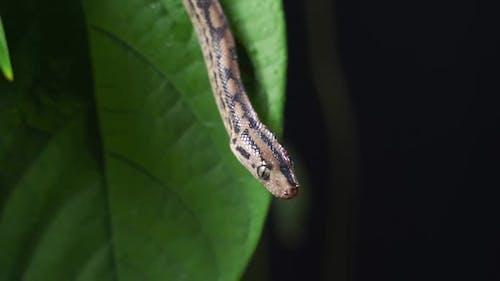 Closeup Shot with Selective Focus of Grey Pet Rat Snake in Foliage