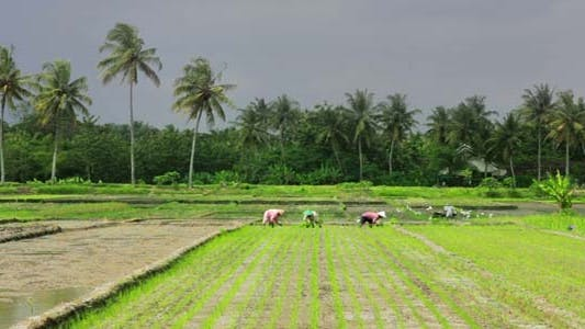 Thumbnail for Agriculture Workers On Rice Field In Bali 1