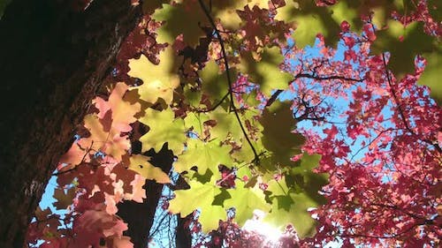 Panning view of colorful leaves as sun shines through