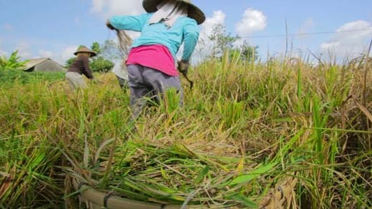 Thumbnail for Agriculture Workers On Rice Field In Bali 20