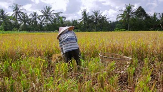 Thumbnail for Agriculture Workers On Rice Field In Bali 23
