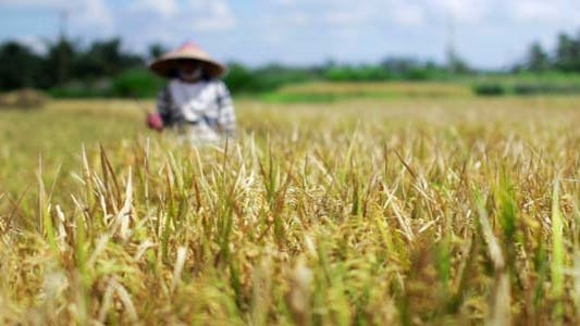Thumbnail for Agriculture Workers On Rice Field In Bali 32