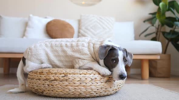 Thumbnail for Cute Dog Lying On Wicker Stool At Home Wearing Knitted Sweater