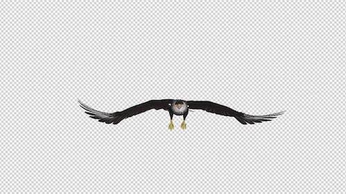 Caracara Hawk - 4K Flying Loop - Front View