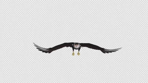 Thumbnail for Caracara Hawk - 4K Flying Loop - Front View