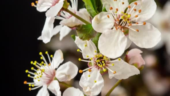 Cover Image for Wild Plum Flower Blossoming on Black