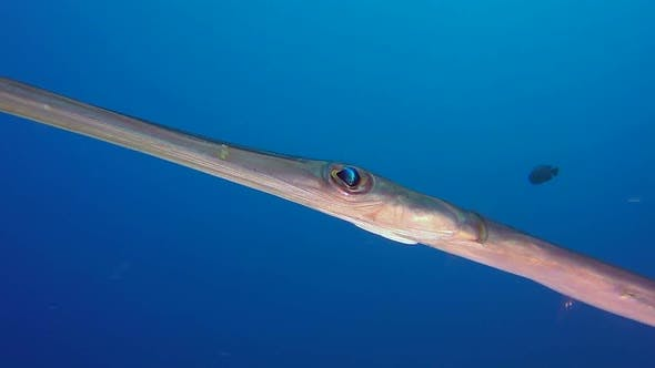 Thumbnail for Bluespotted Cornetfish