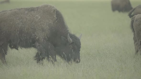 Thumbnail for Bison in a Field on Pasture. Slow Motion