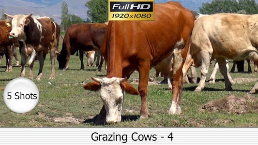 Thumbnail for Cows