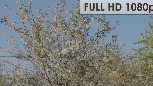 Thumbnail for Cherry Garden 3