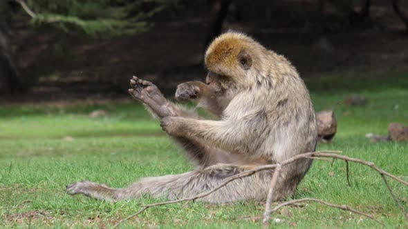 Thumbnail for Barbary ape grooming and eating fleas from his leg