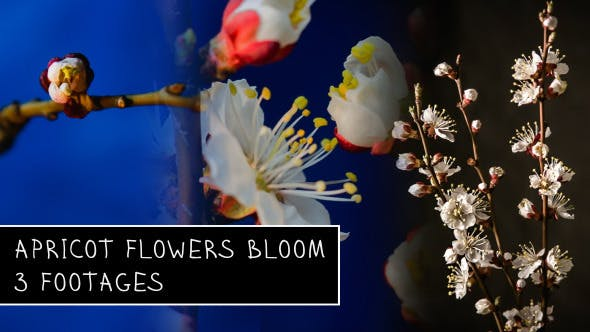 Thumbnail for Flowers Blooming Apricot Tree