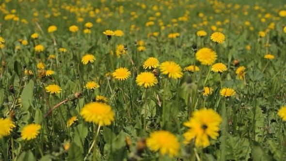 Prairie avec fleurs jaunes de pissenlits