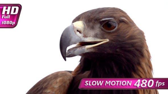 Thumbnail for Golden Eagle on White Background