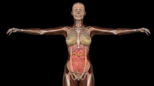 Female Body Anatomy