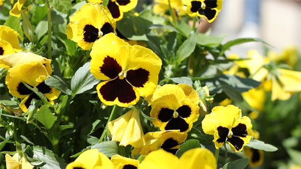 Thumbnail for Yellow Pansies