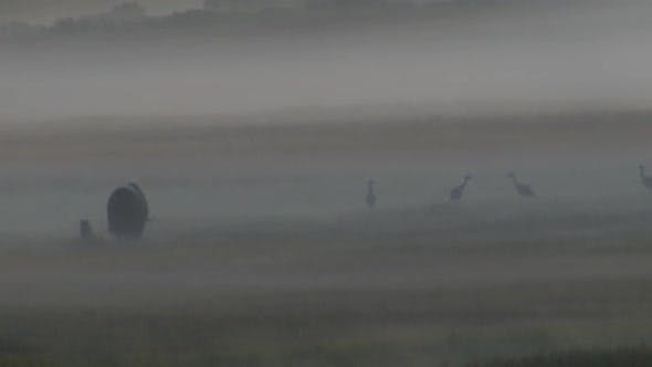 Musk Ox Bull Adult Lone Walking Moving in Autumn Dawn Morning Foggy Fog Morning