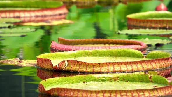 Thumbnail for Lotus Flowers Leaves On Lake Water 1