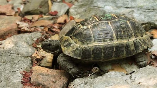Thumbnail for Single Turtle Walking At Forest
