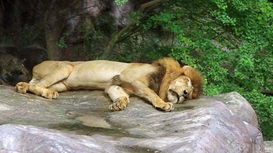 Thumbnail for Sleeping Lion