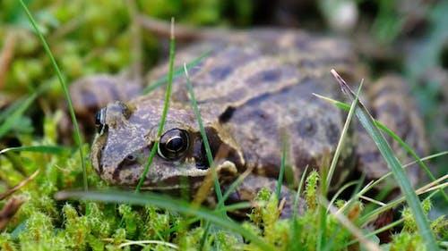 A Common Frog Rana Temporaria Hiding Between the Green Gras and Moss in Ireland