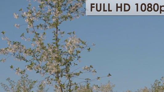 Thumbnail for Cherry Garden 4