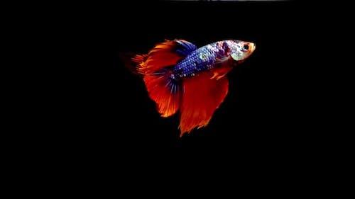 Siamese Half Moon Fighting Fish Betta Splendens