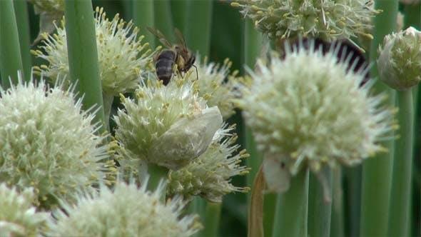 Bumblebee, Bee and Pollen