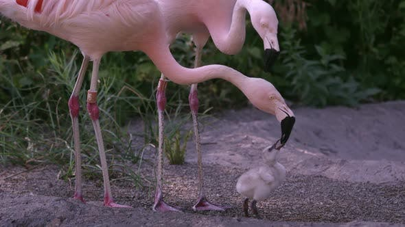 Adult flamingo feeding its young baby chick
