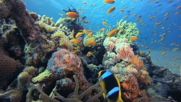 Thumbnail for Clownfish Underwater Tropical Reef View