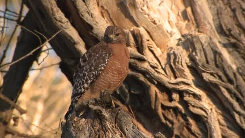 Red-shouldered Hawk Lone in Winter in Pinnacles National Monument California