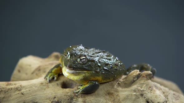 Thumbnail for Cyclorana Toad-water Pot Frog Sitting on Wooden Snag in Black Background. Close Up