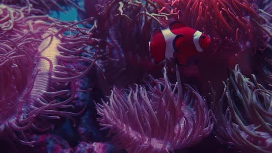 Clownfish Swimming By Pink Anemones In Aquarium