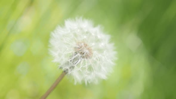Thumbnail for Blowball in the field green surounding slow-mo 1920X1080 HD footage - Beautiful Taraxacum scene with