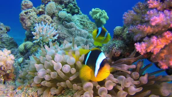Thumbnail for Tropical Clownfish and Sea Anemones