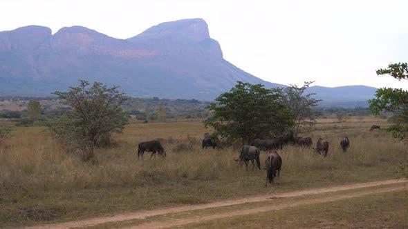 Herd of wildebeests next to a road