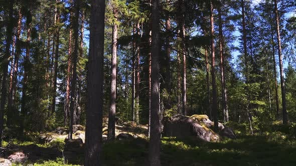 Thumbnail for Tall Norwegian Spruce Trees in the Middle of Forest