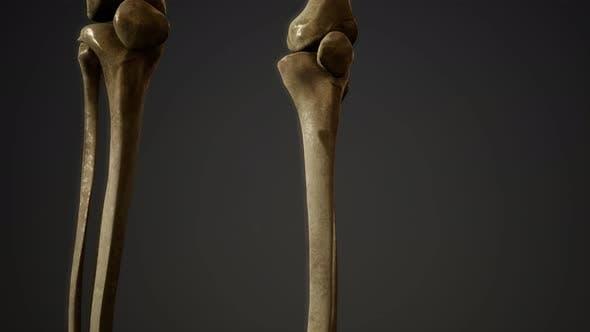 Thumbnail for Bones of the Human Skeleton