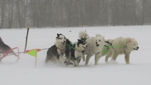 Thumbnail for Husky Dog Team with Rider Participates in the Race