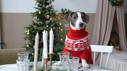 Front View of Cute Doggy in Woven Sweater Sitting at the Festive Table Next to Christmas Tree
