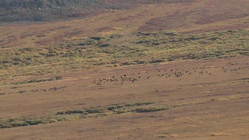 Caribou Male Female Adult Young Herd Many Walking Moving in Autumn