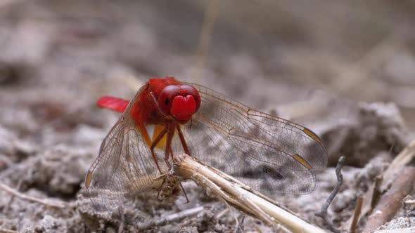 Thumbnail for Red Dragonfly Close-up. Dragonfly Sitting on the Sand at a Branch of the River.
