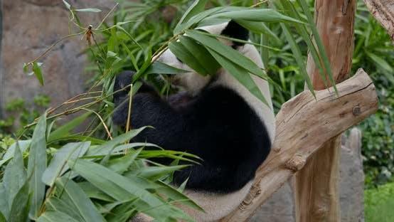 Thumbnail for Panda eating bamboo leaves