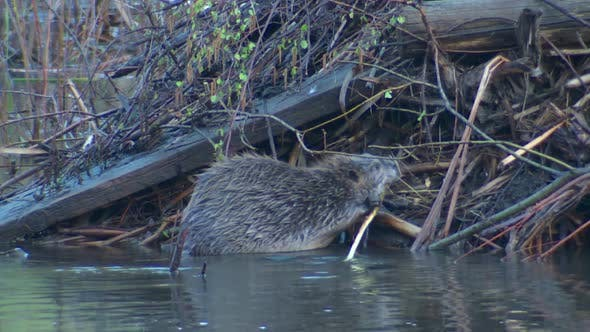 Thumbnail for Beaver Adult Lone in Spring Lodge Stick Mouth in South Dakota