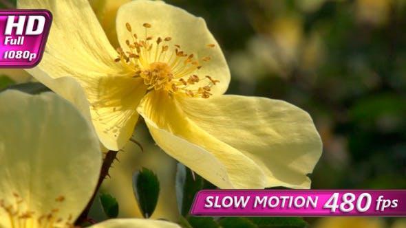 Thumbnail for Blooming Mountain Briar