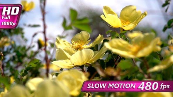 Thumbnail for Flowering Shrub Rose Hips
