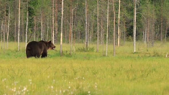 Thumbnail for Brown Bear Ursus Arctos in Wild Nature Is a Bear That Is Found Across Much of Northern Eurasia